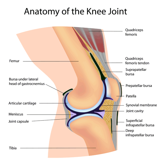 Knee Injury Compensation - Anatomy of the Knee